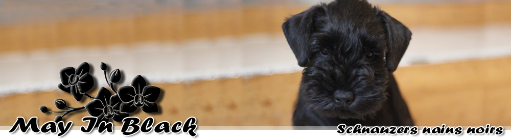 May In Black – Schnauzers Nains noirs